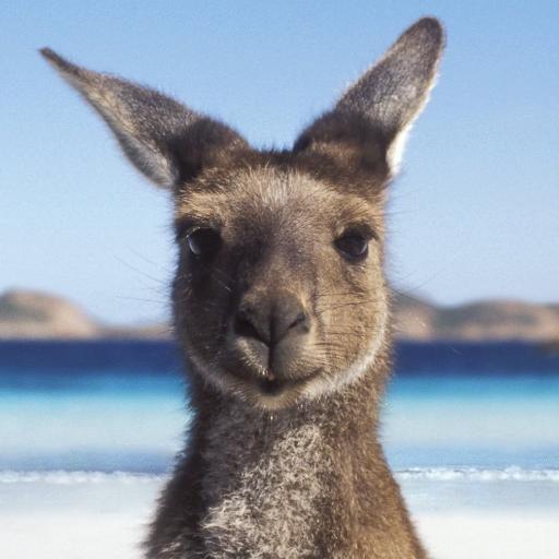 australian kangaroo_ https_twitter.com_australia